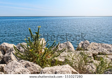 Summer plant between rocks, with a backdrop of Lake Michigan. - stock photo