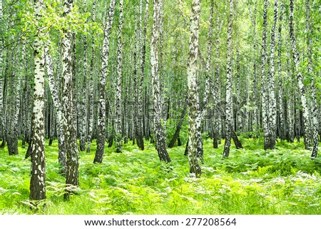 summer rural landscape with the birch forest and the sun - stock photo