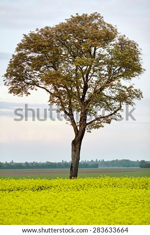 Summer rural landscape with yellow blossom rapeseed field and old tall tree with green foliage - stock photo