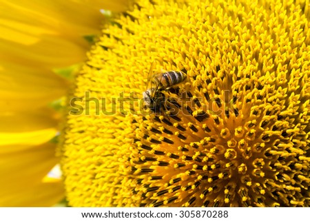 Summer scene about bees that pollinate sunflower. Bee produces honey on a flower. Summer background. - stock photo