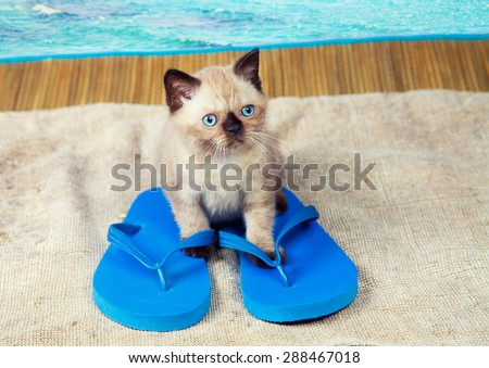 Summer scene. Little kitten wearing flip flops sandals - stock photo