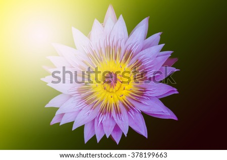 Summer sun over  field water lily or lotus background