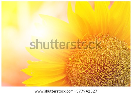 Summer sun over the sunflower field nature background