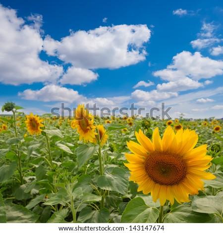 summer sunflower field - stock photo