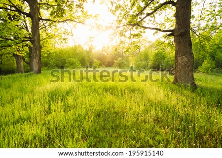 Summer sunny forest old oak trees. Nature green wood sunlight backgrounds. - stock photo