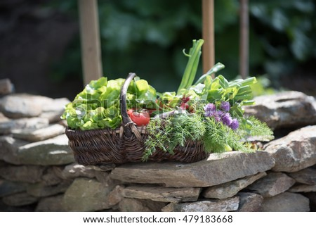 Summer time. A wicker basket placed on a stones wall, in which is the harvest of the day : lettuce, tomatoes, radishes, carrots, eggplants and thistles.