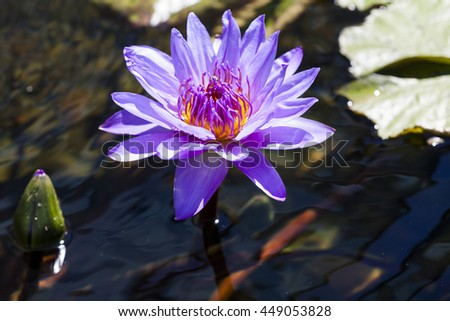 Summer water garden. Large blue water lily bloom and bud floating above water on pond. - stock photo