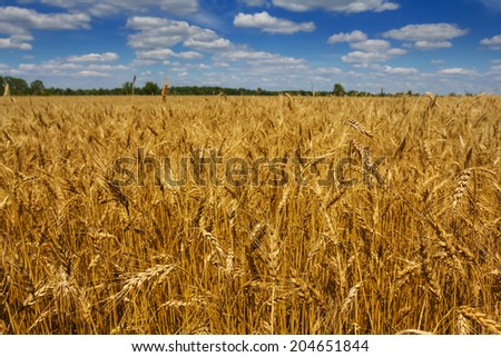 summer wheat field