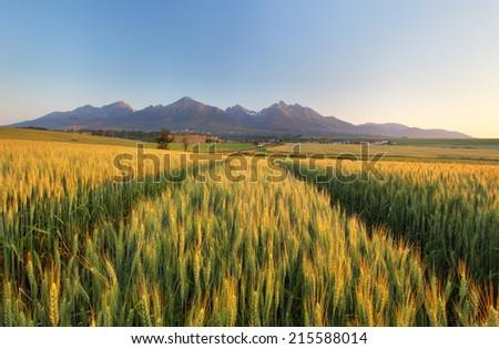 Summer wheat field in Slovakia, Tatras. - stock photo