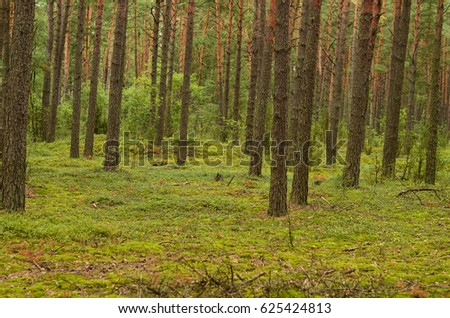 Summer wild thick forest with large beautiful trees and green grass