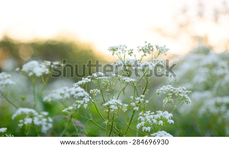 Summer wildflowers Cow Parsley during sunrise - stock photo