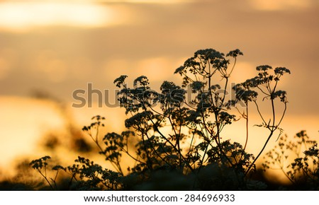 Summer wildflowers Cow Parsley during sunrise