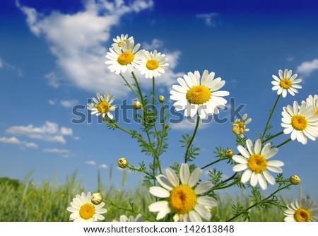 Summer wildflowers in wheat field - stock photo
