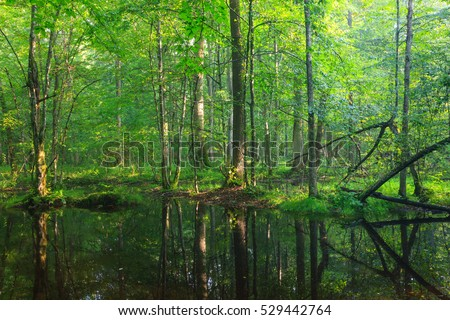 Summertime  broadleaved stand with standing water under shady canopy of stand, Bialowieza Forest, Poland, Europe