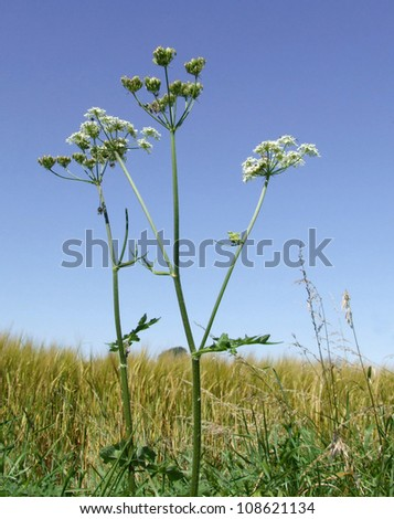 Summertime Cow Parsley - stock photo
