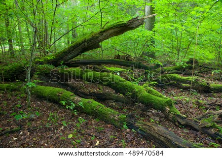 Summertime forest landscape with broken trees of Landscape Reserve, Bialowieza Forest,Poland,Europe