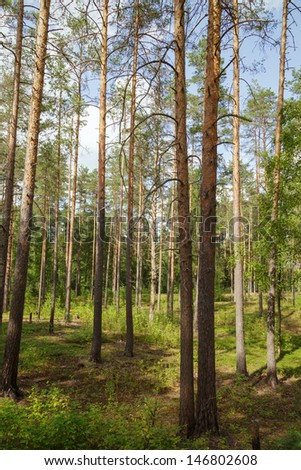 summertime in tranquil pine forest, evening sunlight