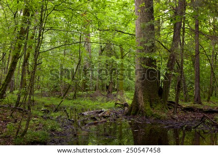 Summertime midday in wet deciduous stand of Bialowieza Forest with old ok tree by water - stock photo