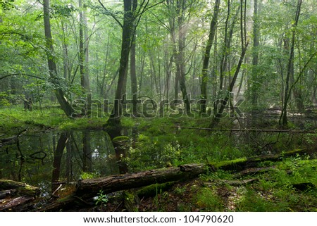 Summertime midday in wet deciduous stand of Bialowieza Forest with standing water in foreground - stock photo
