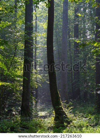 Summertime morning in the forest with mist and alder trees - stock photo