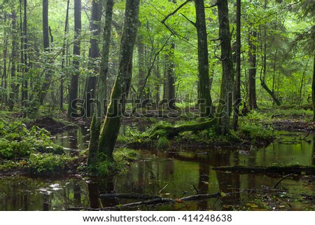 Summertime sunrise in wet deciduous stand of Bialowieza Forest with standing water,Bialowieza Forest,Poland,Europe - stock photo