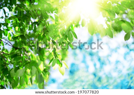 Sun and green leaves. Green leaves on a background of blue sky and sunshine. Sun rays in  green leaves of  trees.  - stock photo