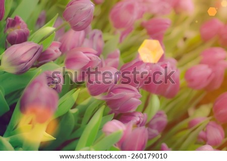 sun beam and Tulips on soft focus and vintage colors