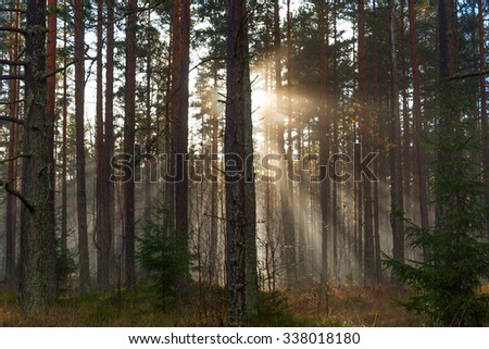 Sun beams in pines forest.
