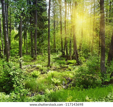 Sun beams pour through trees in a pine forest - stock photo