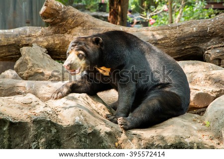 Sun bear sits on stone in the zoo.