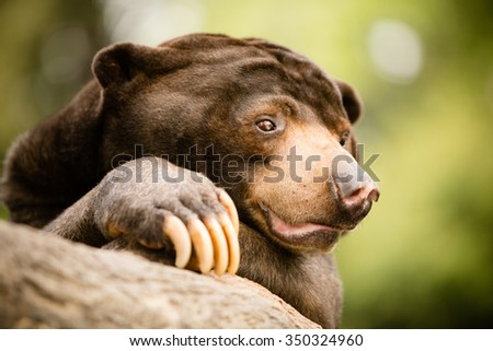 Sun Bear - This is a shot of a tired sun bear laying on a tree branch at the zoo. Shot with a shallow depth of field. - stock photo
