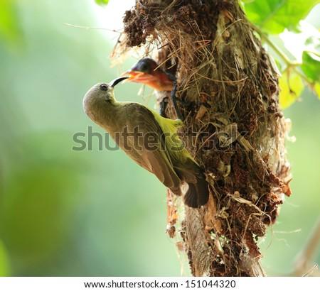 Sun-bird feeding new born chicks - stock photo