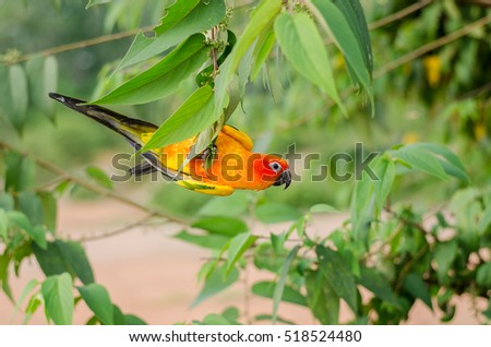 Sun Conure bird playing on branch.