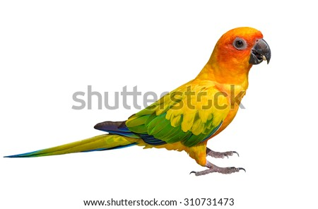 Sun Conure Parrot with white background.