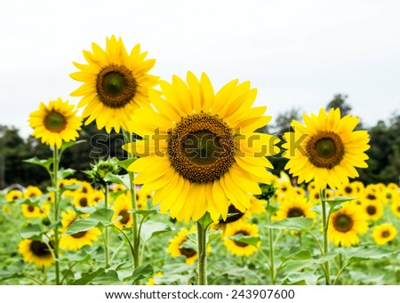 sun flower - stock photo