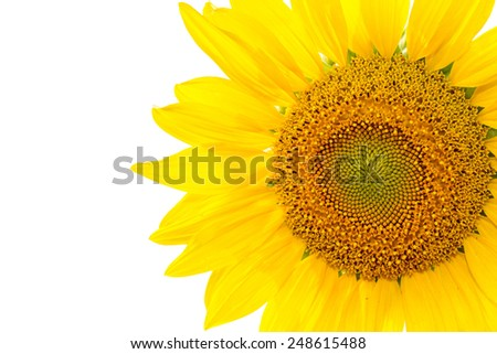 sun flower isolated