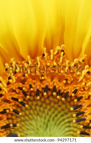 Sun flower photographed with a macro lens. - stock photo