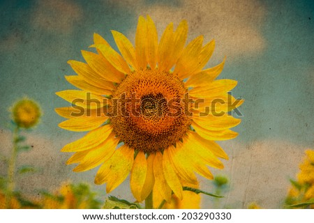 sun flowers field in Thailand. sunflowers. Grunge retro filter. - stock photo
