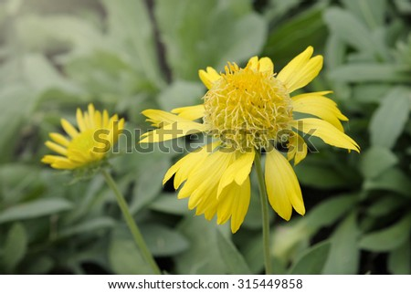Sun Gaillardia flower blooming in the garden - stock photo