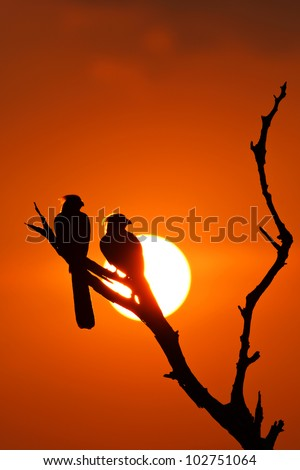 Sun Go Away - Grey Go Away Birds in sunset silhouette. - stock photo