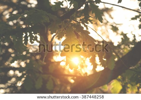 Sun going through the branches of oak. Shallow depth of field. - stock photo