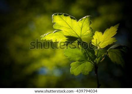 Sun is shining through a fresh green leave. Shallow depth of field