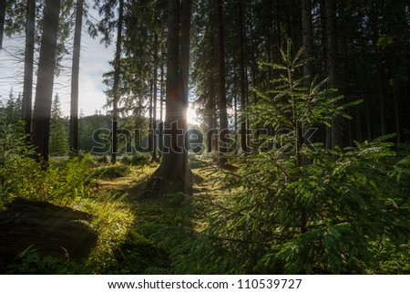 sun light in the coniferous forest through the leaves of a fern