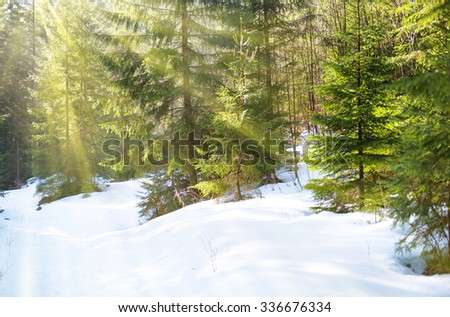 Sun light in the winter forest with white fresh snow and pine trees - stock photo