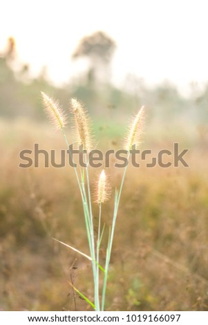 Sun light of grass (Pennisetum polystachyon Schult)
