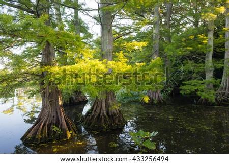 Sun lit leaves of Bald Cypress (Taxodium distichum) at Reelfoot Lake - stock photo