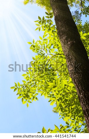 Sun on blue sky at summer time and sunrays on ash tree (Fraxinus) - stock photo