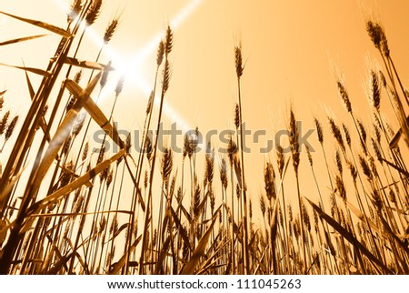 sun over grain field in spring
