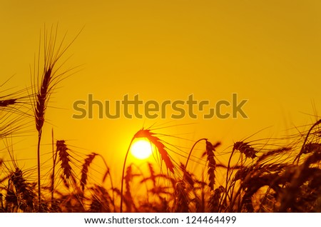 sun over grain field in summer