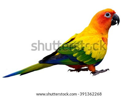 Sun parakeet or sun conure (Aratinga solstitialis) the lovely yellow with green and blue feathers parrot bird standing on the ground isolated on white background